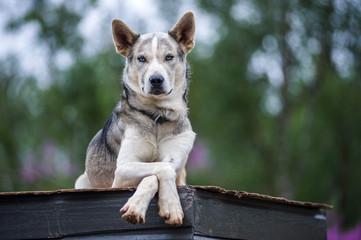 husky, cani da gara su slitta in norvegia d'estate