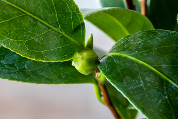 Camellia buds, grown in a pot, before flowering