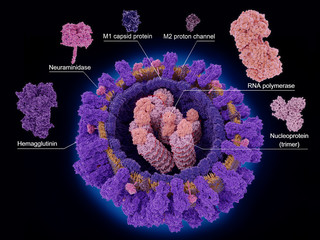 The proteins of the influenza virus
