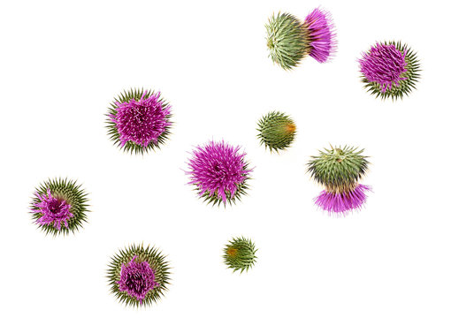 Milk Thistle flower isolated on white background, top view. Silybum marianum.