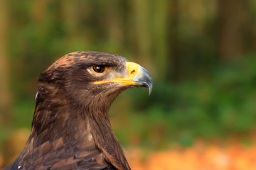 Poster - The steppe eagle is a bird of prey
