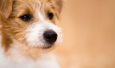 Nose of a cute jack russell pet dog, web banner with copy space