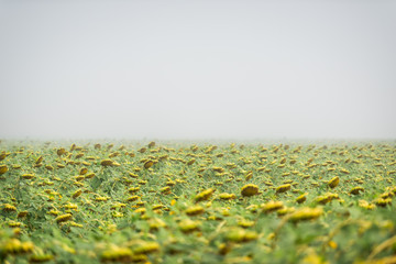 Many sunflowers flower for harvesting in agriculture farm field in morning fog mist weather with horizon and bokeh