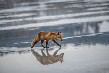 Red fox (Vulpes vulpes) with a bushy tail hunting in the snow in winter in Algonquin Park in Canada