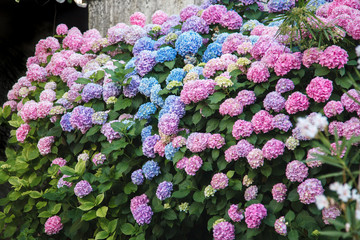 Fotomurales - Hydrangea hedge. Flowers are pink, blue, lilac, violet, purple. Bushes are blooming in spring and summer in town street garden.