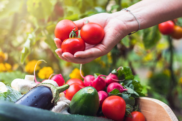 Woman´s hands picking fresh tomatoes to wooden crate with vegetables. Organic garden
