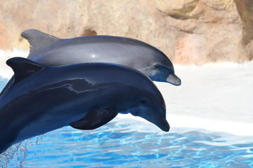 Two dolphins jumping out of the water during a dolphin show