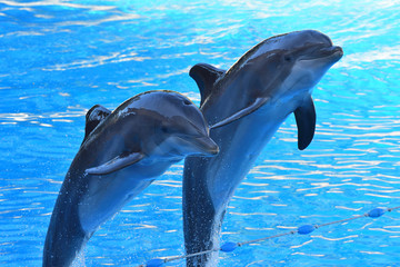 Two dolphins jumping out of the water at a dolphin show