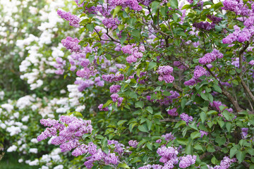 Wall Murals Lilac Blooming violet lilac bush at spring time with sunlight. Blossoming purple and violet lilac flowers. Spring season, nature background