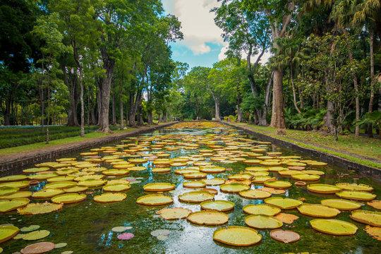 Large water lilies botanical Garden Pamplemousses, Mauritius