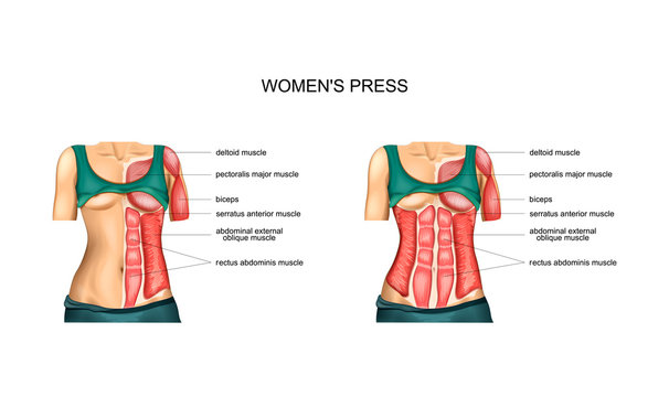 anatomy muscles of the torso