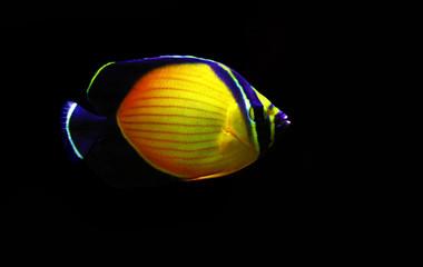 The Arabian Butterfly fish - (Chaetodon melapterus)