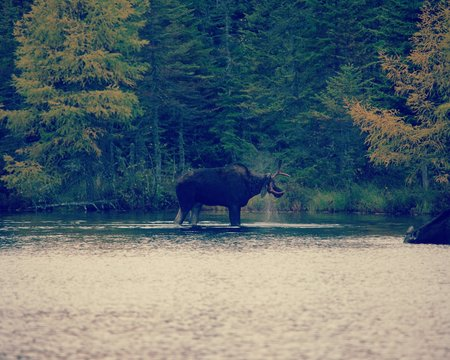 Adult Male Moose wading in sandy pond, Baxter State Park Maine.  Shaking water off.