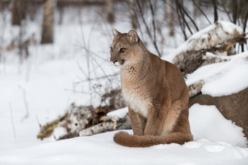 Adult Female Cougar (Puma concolor) Sits in Snow Staring Left Winter