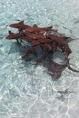 nurseshark action in the clear water at compass cay, Exuma islands, Bahamas