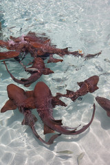sharks in action in the clear waters of the Bahamas