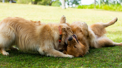Golden retrievers brincando na grama