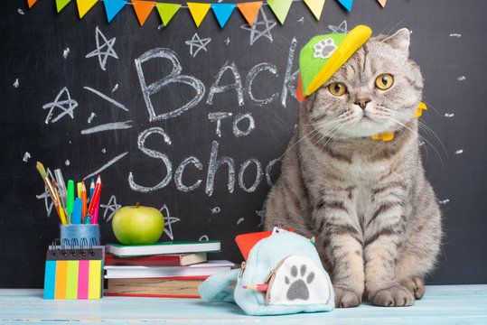 back to school, a cat in a cap and with a backpack on the background of the blackboard and school accessories, the concept of school, study, students.Funny and funny cat