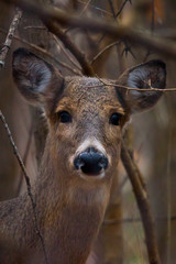 Young Deer in Woods