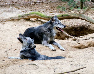 Two Wolves by Their Den