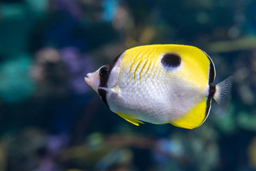 The teardrop butterflyfish (Chaetodon unimaculatus ) - tropical coral fish