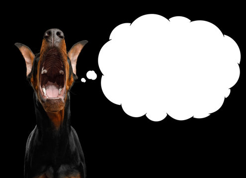Funny Portrait of Doberman Dog with Opened mouth Asking Food with white Cloud for text in Camera on isolated Black background