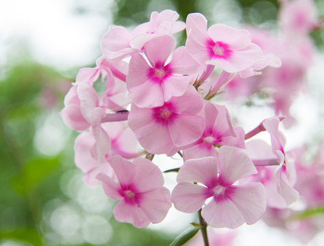 close-up pink  flower phlox on a  bokeh background