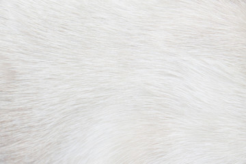 Fur cat light gray or white  texture abstract for background , Natural animal patterns skin Wall mural