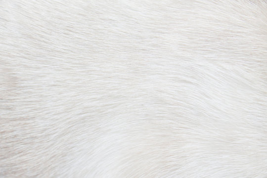 Fur cat light gray or white  texture abstract for background , Natural animal patterns skin