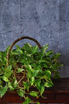 Scindapsus pictus in a wicker basket. Basket of plants on a wooden table on a gray background