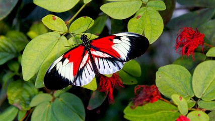 Red Black White Butterfly perched on a leaf brunch