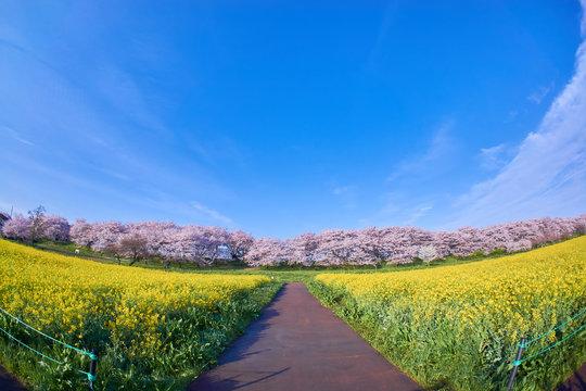 幸手市 桜堤 桜 菜の花 満開 広角