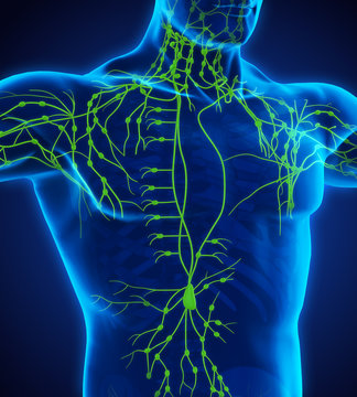 Human Lymphatic System Illustration