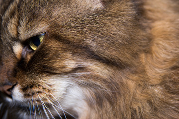 domestic cat face profile