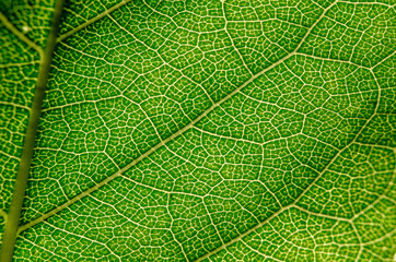 Aluminium Prints Macro photography Structure texture green leaf closeup