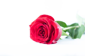 A fresh red rose big bud and petals with green leaves on bright white background and empty space Felicitation Minimalist concept Copy Space and template