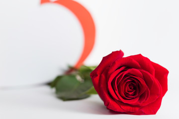A fresh red rose big bud and petals with green leaves on bright white background with valentines and empty space Felicitation Minimalist concept Copy Space and template