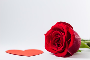 A fresh red rose big bud and petals with green stem on bright white background with valentine and empty space Felicitation Minimalist concept Copy Space and template