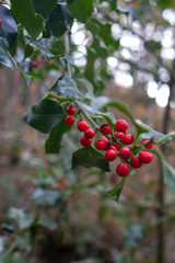 Holly plant with reds fruits