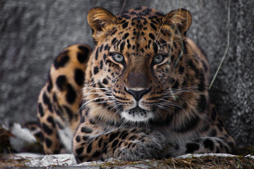 Photo sur Aluminium Leopard look brutal, lying Amur leopard, powerful motley big cat looks straight through the eyes of a predator.