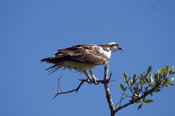 Osprey Against a Cloudless Sky on a Tree Branch