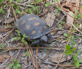 Florida Gopher Tortoise