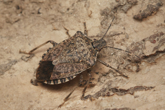 The brown marmorated stink bug, an insect native to China, Japan, the Korean peninsula, and Taiwan. It was accidentally introduced into the United States, Europe and South America.
