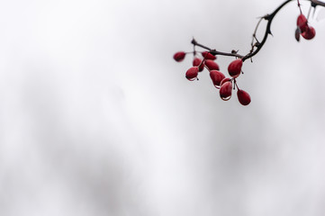 A thin branch of barberry with rain drops on scarlet berries against the white, grey, black blurred background. Selected focus on the berries. Calm nature lyrics for any design.