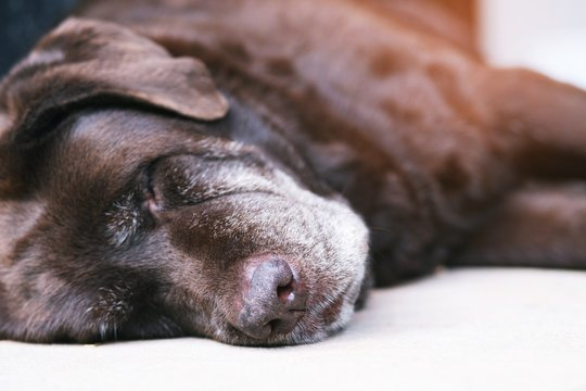 The dog sleeping or resting with closed eyes. sad get sick and sickness waiting in front of the house. Straight looking face. Pets concept. soft focus.