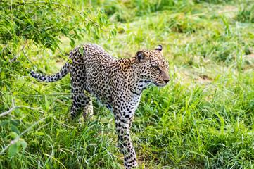 A leopard walking in the forest in Samburu Park