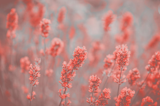 Lavender Flowers  in Colour of the year 2019 Pantone - Living Coral