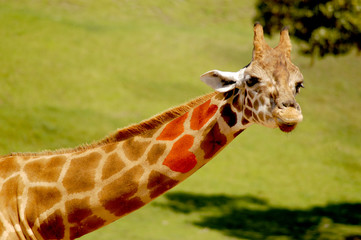 Long-necked giraffe that has natural heart markings on his patches.
