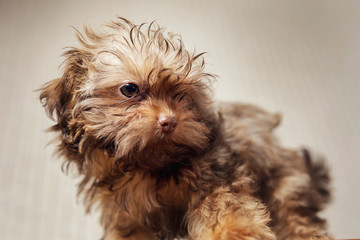 Havanese dog at home. Beautiful small puppy