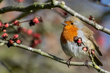 A Robin perched on a wig